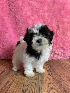 Lacey Female Shih-Chon Teddy Bear