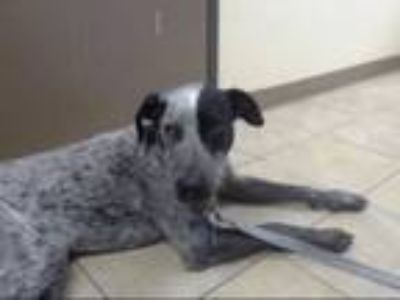 Adopt LARRY THE DOG a German Shorthaired Pointer