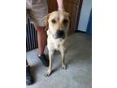 Adopt Captain a Yellow Labrador Retriever