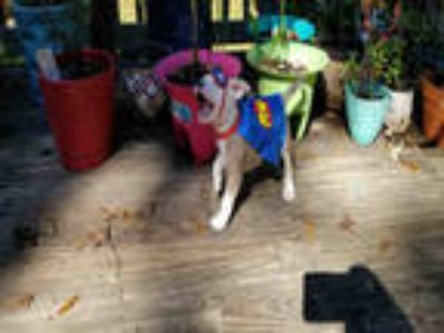 Adopt YETI a Tan/Yellow/Fawn - with White American Pit Bull Terrier / Mixed dog