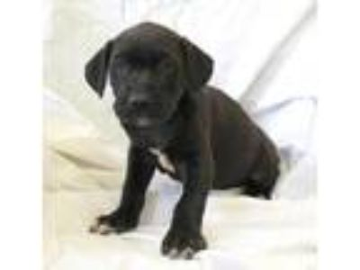 Adopt Vito a Black Labrador Retriever / American Pit Bull Terrier / Mixed dog in
