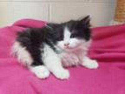 Adopt Paige a Domestic Long Hair
