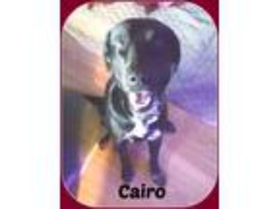 Adopt CAIRO a Black - with White Labrador Retriever / Mixed dog in Malvern
