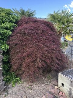 40 year old Japanese Maple ready to transplant to your home!!
