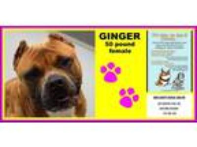 Adopt Ginger a Tan/Yellow/Fawn Pit Bull Terrier / Staffordshire Bull Terrier /