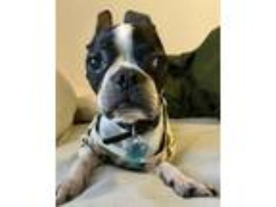 Adopt .Sancho. a Black - with White Boston Terrier / Mixed dog in Irving