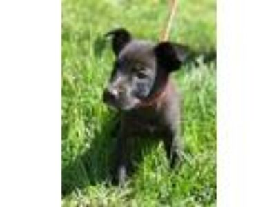 Adopt Gidget a Black German Shepherd Dog / Mixed dog in Chester Springs