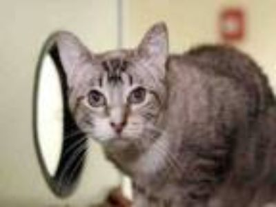 Adopt WADDLES a Siamese, Domestic Short Hair