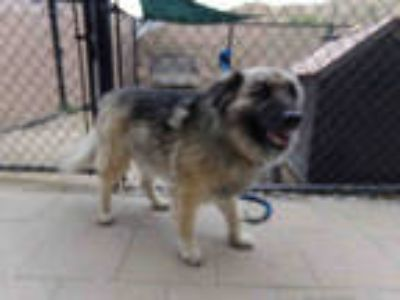 Adopt OSO a Black Chow Chow / German Shepherd Dog / Mixed dog in Norco
