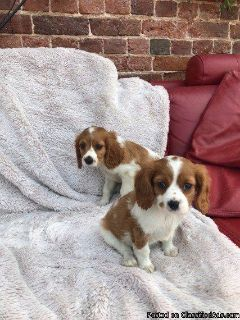 Beautiful King Charles Spaniel pups