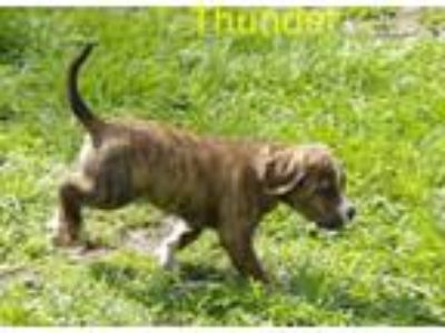 Adopt Thunder a Pit Bull Terrier, Hound