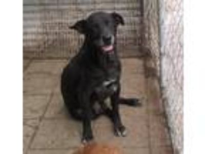 Adopt Kip a Black - with White Labrador Retriever / Mixed dog in Boaz