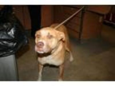 Adopt A521016 a Staffordshire Bull Terrier, Mixed Breed