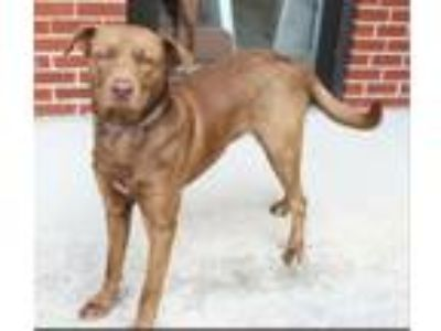 Adopt Roman a Chocolate Labrador Retriever