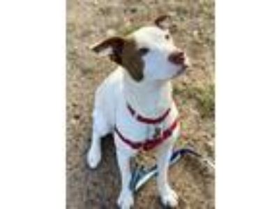 Adopt Straya a White - with Brown or Chocolate Labrador Retriever / Retriever