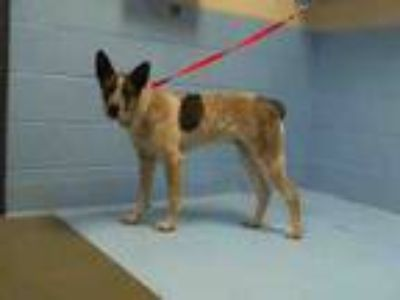 Adopt A495613 a Australian Cattle Dog / Blue Heeler
