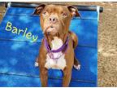 Adopt BARLEY a Red/Golden/Orange/Chestnut - with White American Pit Bull Terrier