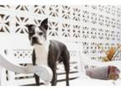 Adopt Marty a Black - with White Boston Terrier / Mixed dog in Inglewood