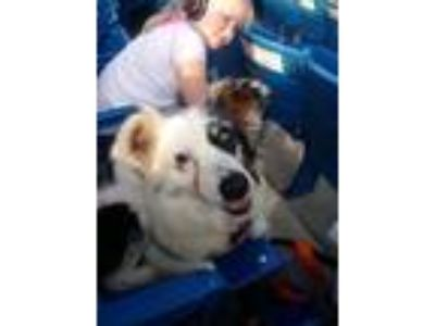 Adopt Tonya a White - with Brown or Chocolate Australian Shepherd / Mixed dog in