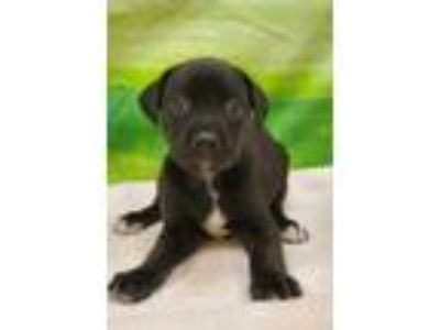 Adopt Cosy a Black American Pit Bull Terrier / Mixed dog in Burleson