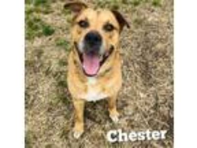 Adopt Chester a Pit Bull Terrier