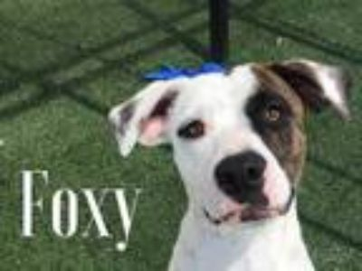 Adopt Foxy a White Catahoula Leopard Dog / Pointer / Mixed dog in Lewisville