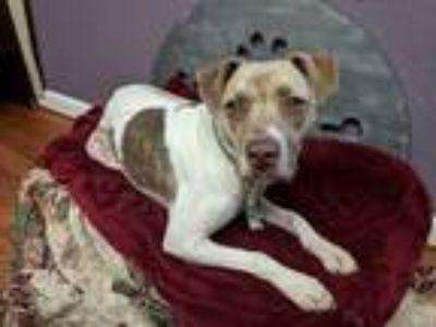 Adopt Laurel a Staffordshire Bull Terrier, Beagle
