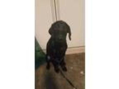 Adopt (found) Raven a Black Labrador Retriever / Mixed dog in Cabot