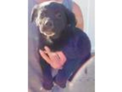 Adopt BOSCO a Black - with White Labrador Retriever / Newfoundland / Mixed dog