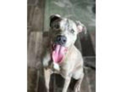 Adopt Baz a Catahoula Leopard Dog, Pit Bull Terrier
