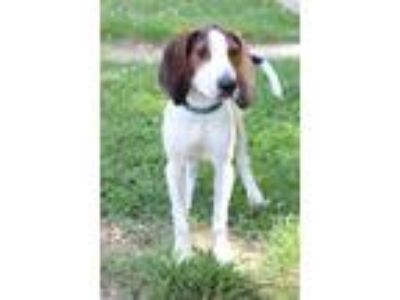 Adopt Mason a Tricolor (Tan/Brown & Black & White) Beagle / Mixed dog in