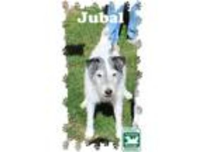 Adopt Jubal a Brown/Chocolate - with White Jack Russell Terrier / Mixed dog in