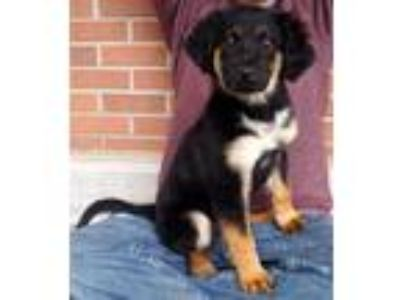 Adopt Beatriz a Black - with Tan, Yellow or Fawn Shepherd (Unknown Type) / Mixed