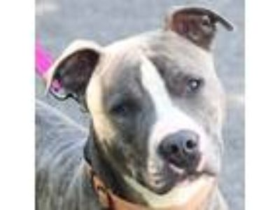 Adopt Cyrus a American Staffordshire Terrier, Boxer