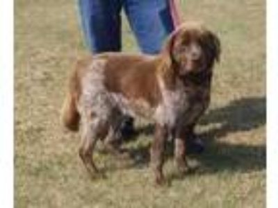 Adopt TREVOR a Brown/Chocolate Labrador Retriever / Mixed dog in Clinton