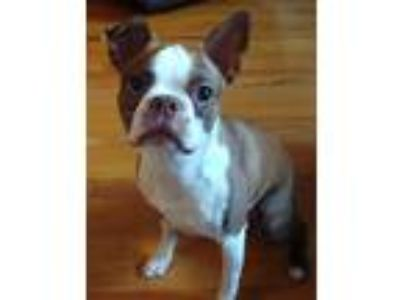 Adopt Oliver a Brown/Chocolate - with White Boston Terrier / Mixed dog in