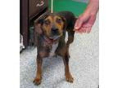 Adopt Turtle Dove a Tan/Yellow/Fawn Catahoula Leopard Dog / Mixed dog in