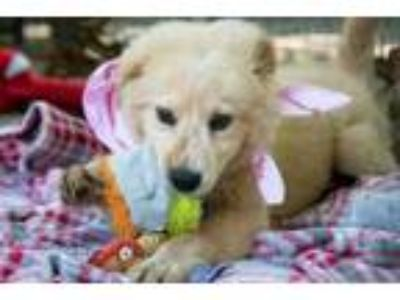 Adopt 190623 Blanc a Great Pyrenees