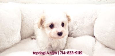 Poodle (Standard)-Maltese Mix PUPPY FOR SALE ADN-75514 - Maltipoo Male Fiji