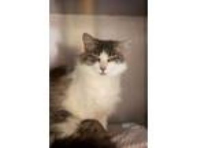 Adopt Fairy 25719 a Domestic Medium Hair