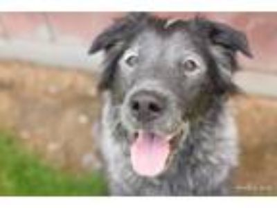 Adopt SLICK a Flat-Coated Retriever, Australian Shepherd