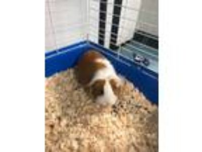 Adopt Penny a Tan or Beige Guinea Pig small animal in Morgan Hill, CA (25901750)