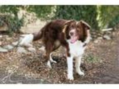 Adopt BEACON a Red/Golden/Orange/Chestnut - with White Border Collie / Mixed dog