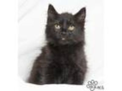 Adopt Satin a All Black Domestic Longhair / Domestic Shorthair / Mixed cat in