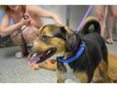 Adopt Chewy (Has Application) a Beagle / Pug dog in Washington, DC (25328101)