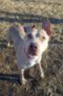 Violet Pit Bull Terrier Dog