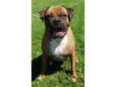 Adopt Colby a Boxer