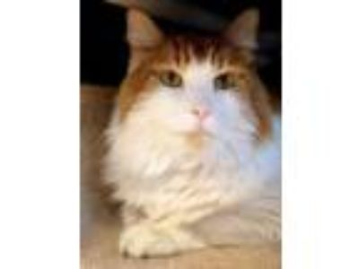 Adopt Ronald a Orange or Red Domestic Longhair / Domestic Shorthair / Mixed cat
