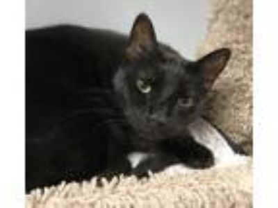 Adopt Lando a All Black Domestic Shorthair (short coat) cat in Lake Charles