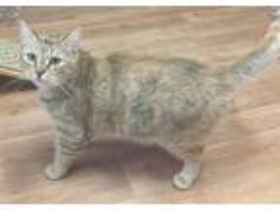 Adopt Tilly a Domestic Short Hair